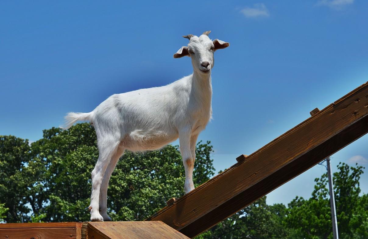 white goat on ramp at Faulkner's Ranch