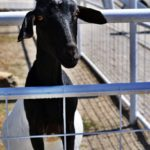 goat at petting farm in Kansas City